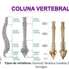 O que são as vértebras?