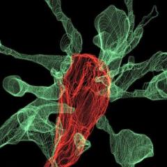 Cientistas mostram como os neurônios fazem a sinapse